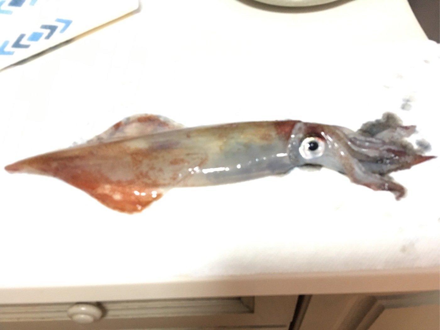 きみちゃんさんの投稿画像,写っている魚はヤリイカ