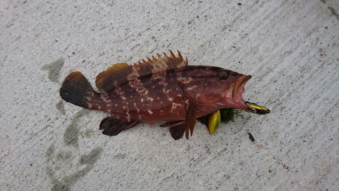 あかつきさんの投稿画像,写っている魚はキジハタ