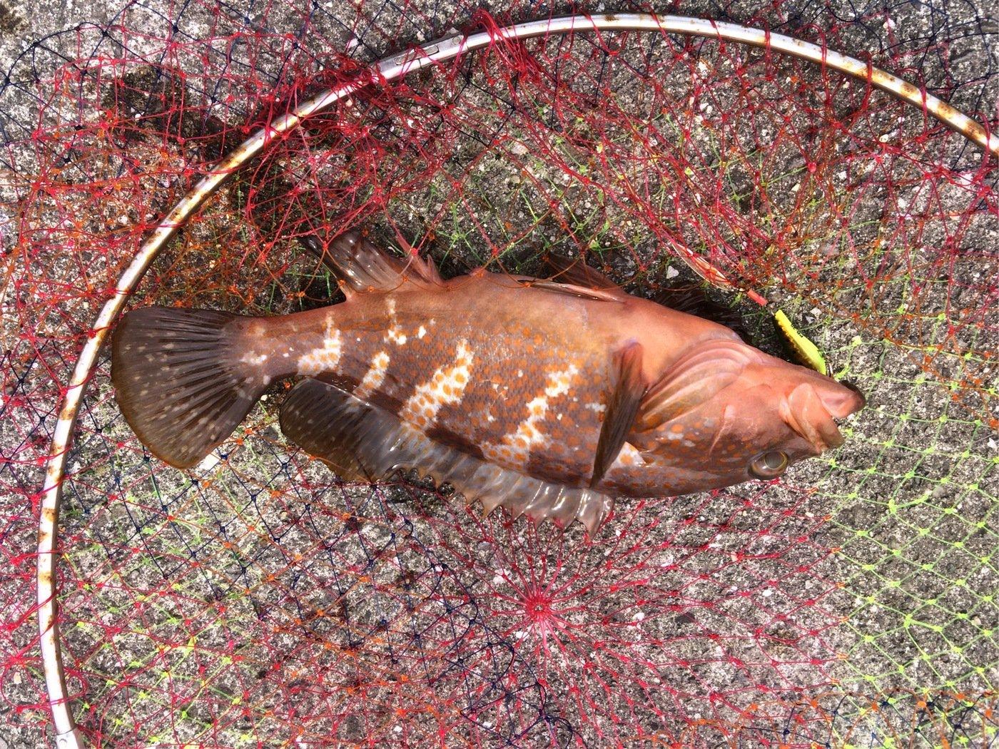 あつつさんの投稿画像,写っている魚は