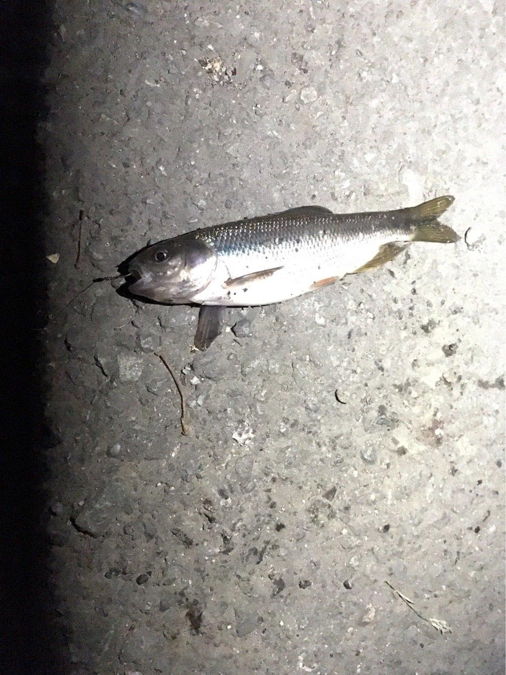 五郎八さんの投稿画像,写っている魚は