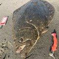 サーフルアーマンさんの静岡県掛川市での釣果写真