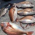 BLACKさんの熊本県天草郡でのクロダイの釣果写真