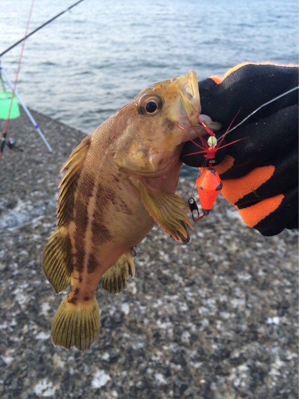 たーちんさんの投稿画像,写っている魚はシマゾイ