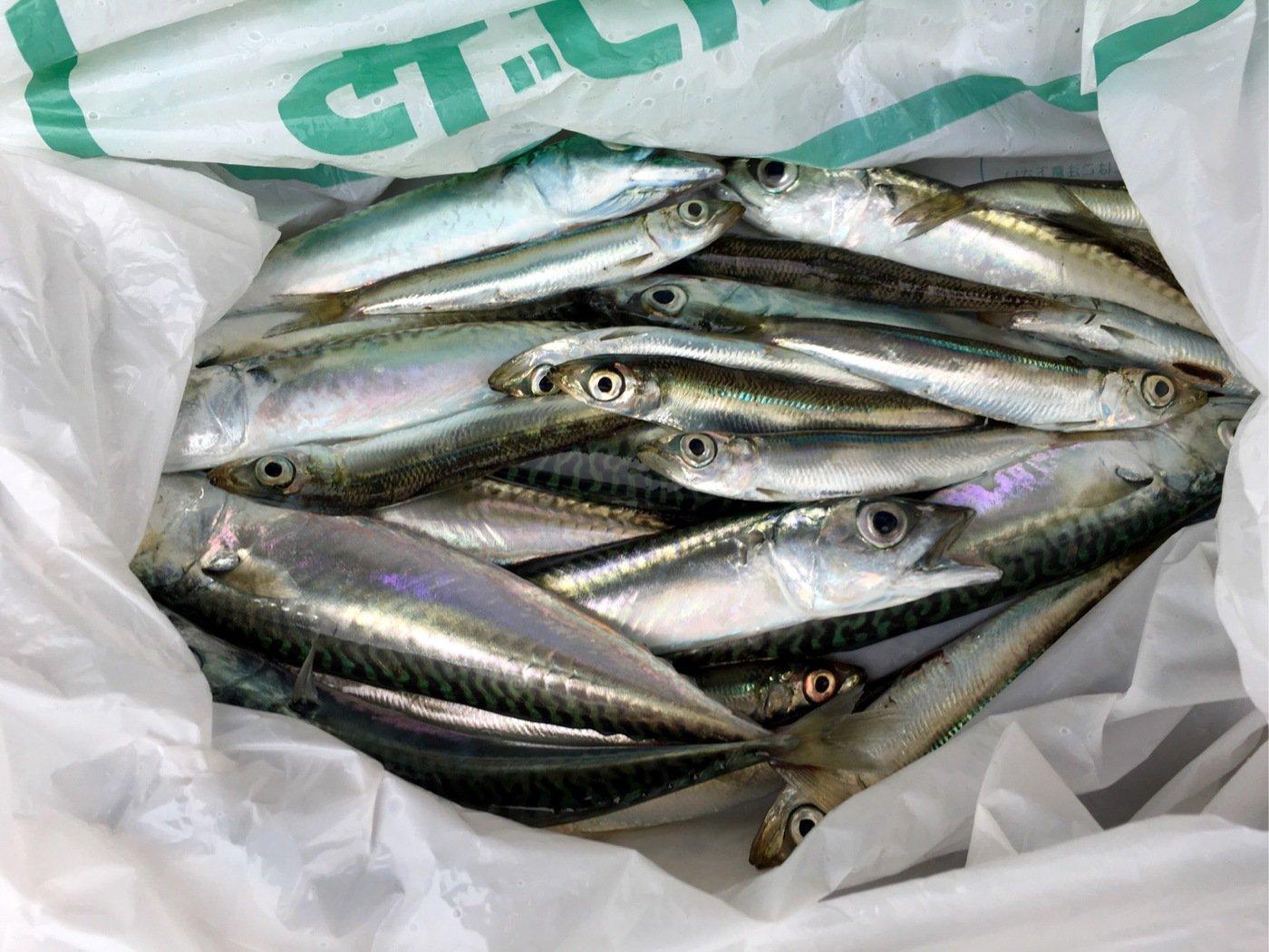 Shinさんの投稿画像,写っている魚はマサバ