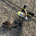 えれきんぐさんの新潟県三島郡でのメバルの釣果写真