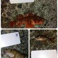 1男1女のパパさんの静岡県沼津市でのネンブツダイの釣果写真