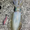 こーたろーさんの鹿児島県熊毛郡での釣果写真