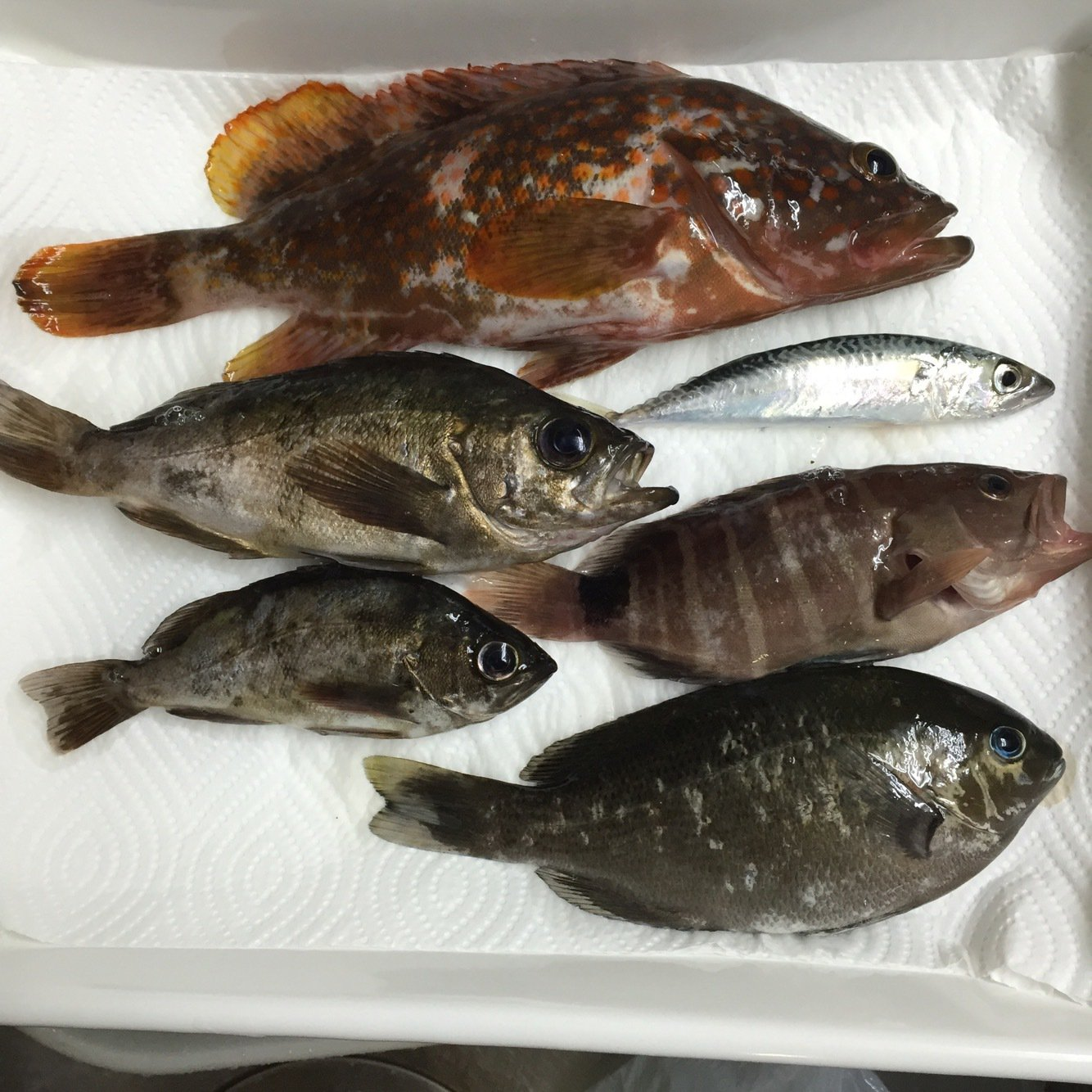 すーさんの投稿画像,写っている魚はキジハタ