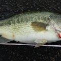 まさとさんの香川県綾歌郡での釣果写真