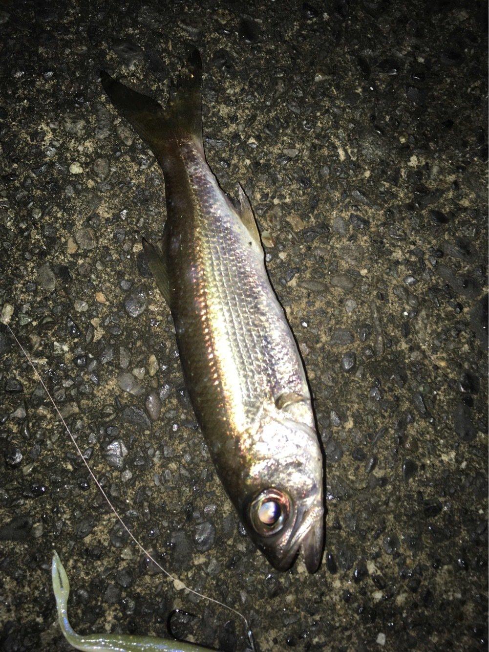 きょーすけさんの投稿画像,写っている魚はアナハゼ