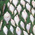 爆釣倶楽部会長さんの北海道美唄市での釣果写真
