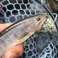 ヤッシーさんの長野県伊那市での釣果写真