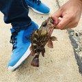 軍団さんの静岡県湖西市でのカサゴの釣果写真