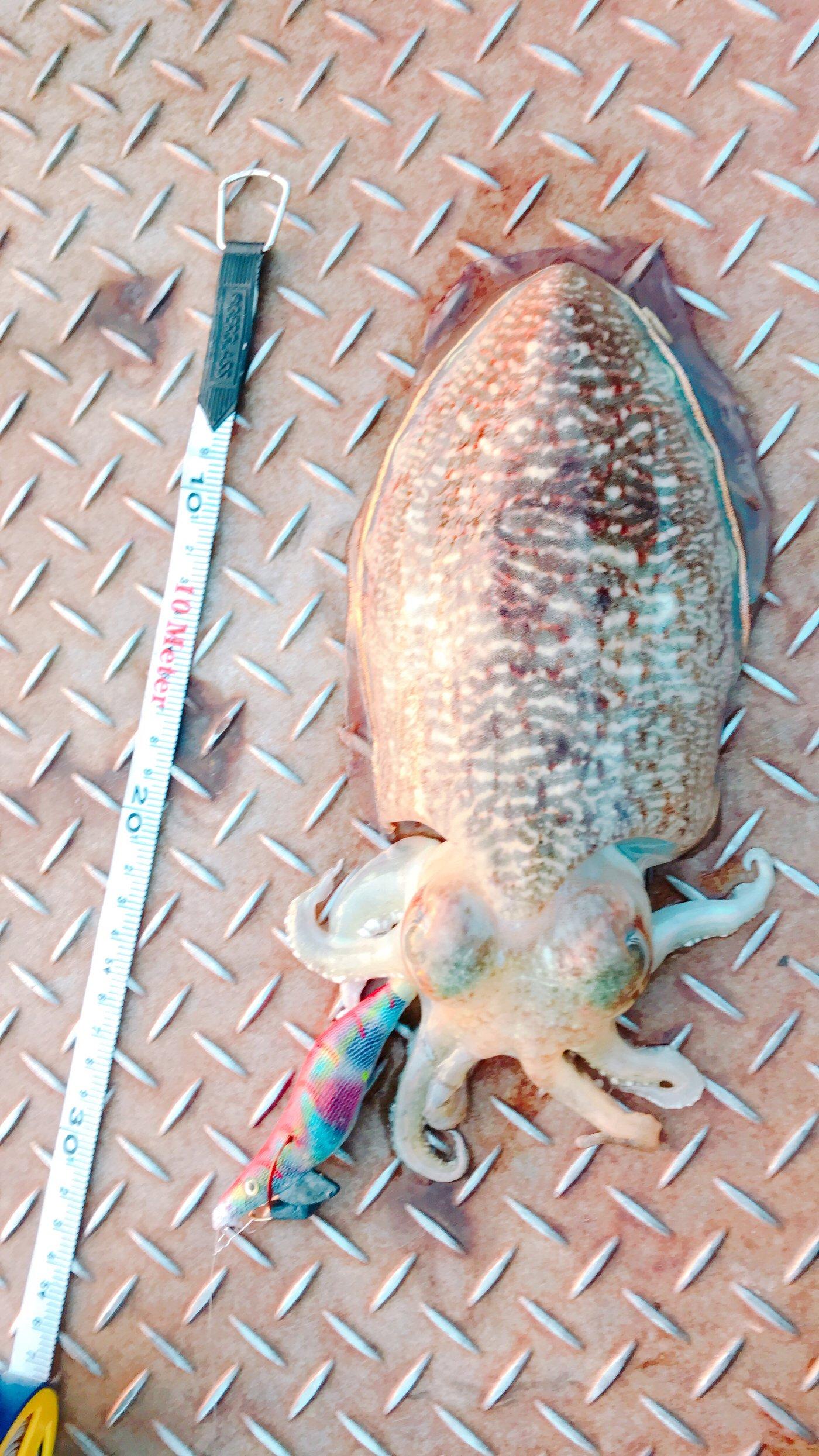 ノリヒロさんの投稿画像,写っている魚はコウイカ