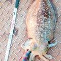 ノリヒロさんの京都府舞鶴市でのコウイカの釣果写真