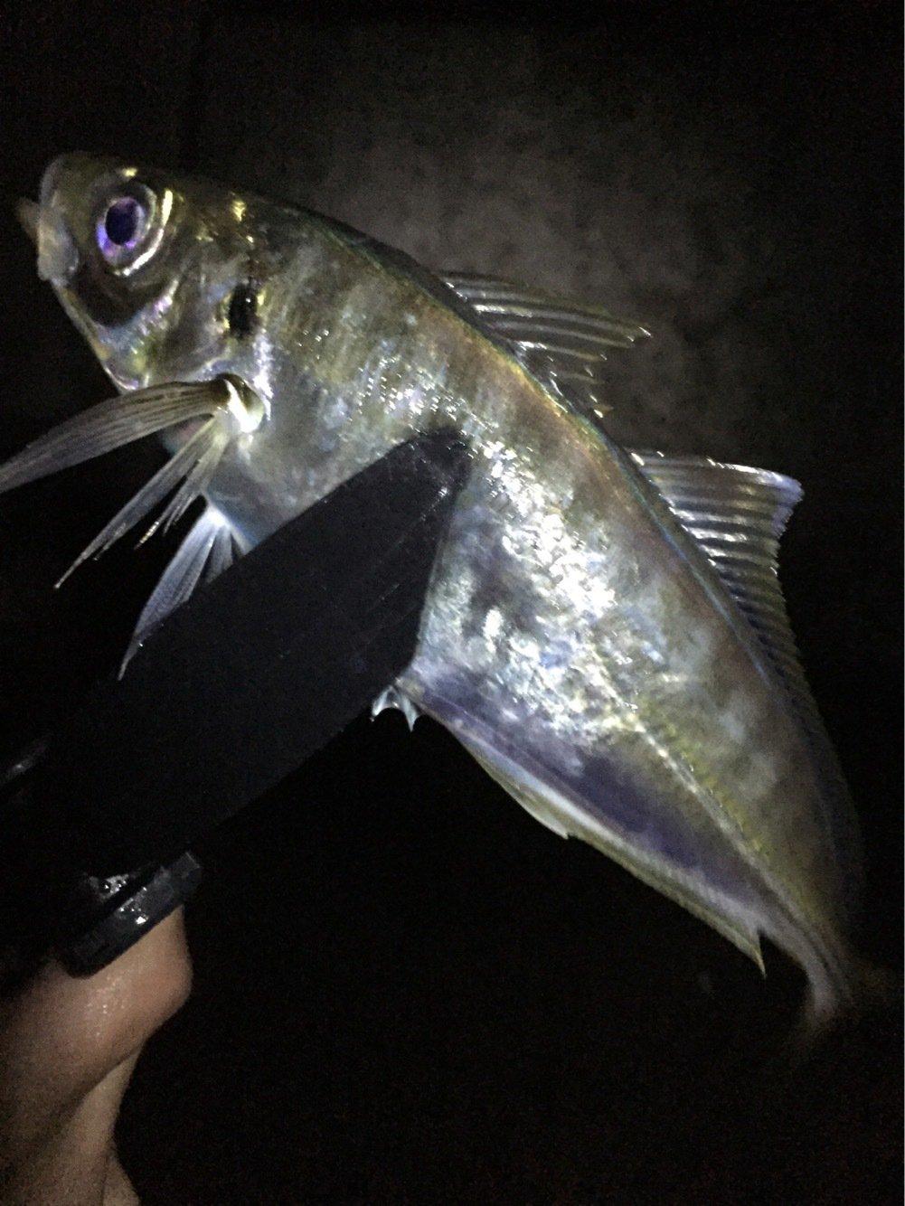 激にぼさんの投稿画像,写っている魚はアジ