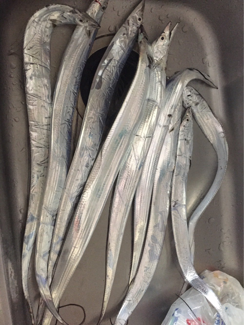 ヨッシーさんの投稿画像,写っている魚はタチウオ