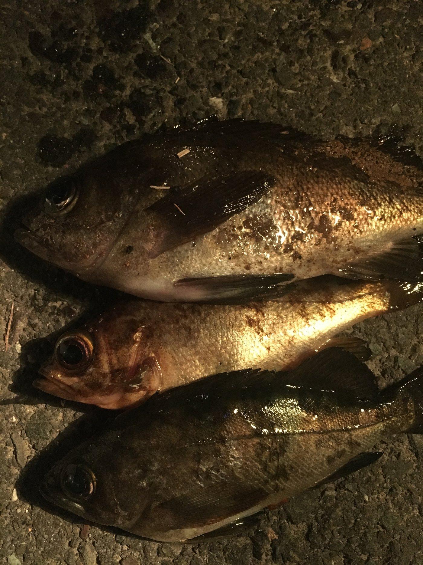 ノリさんの投稿画像,写っている魚はメバル