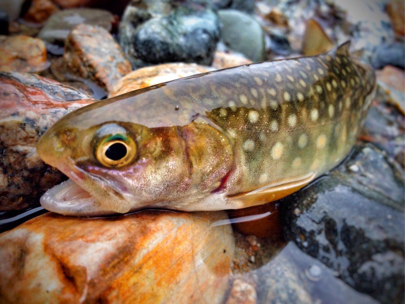 8845さんの投稿画像,写っている魚はイワナ