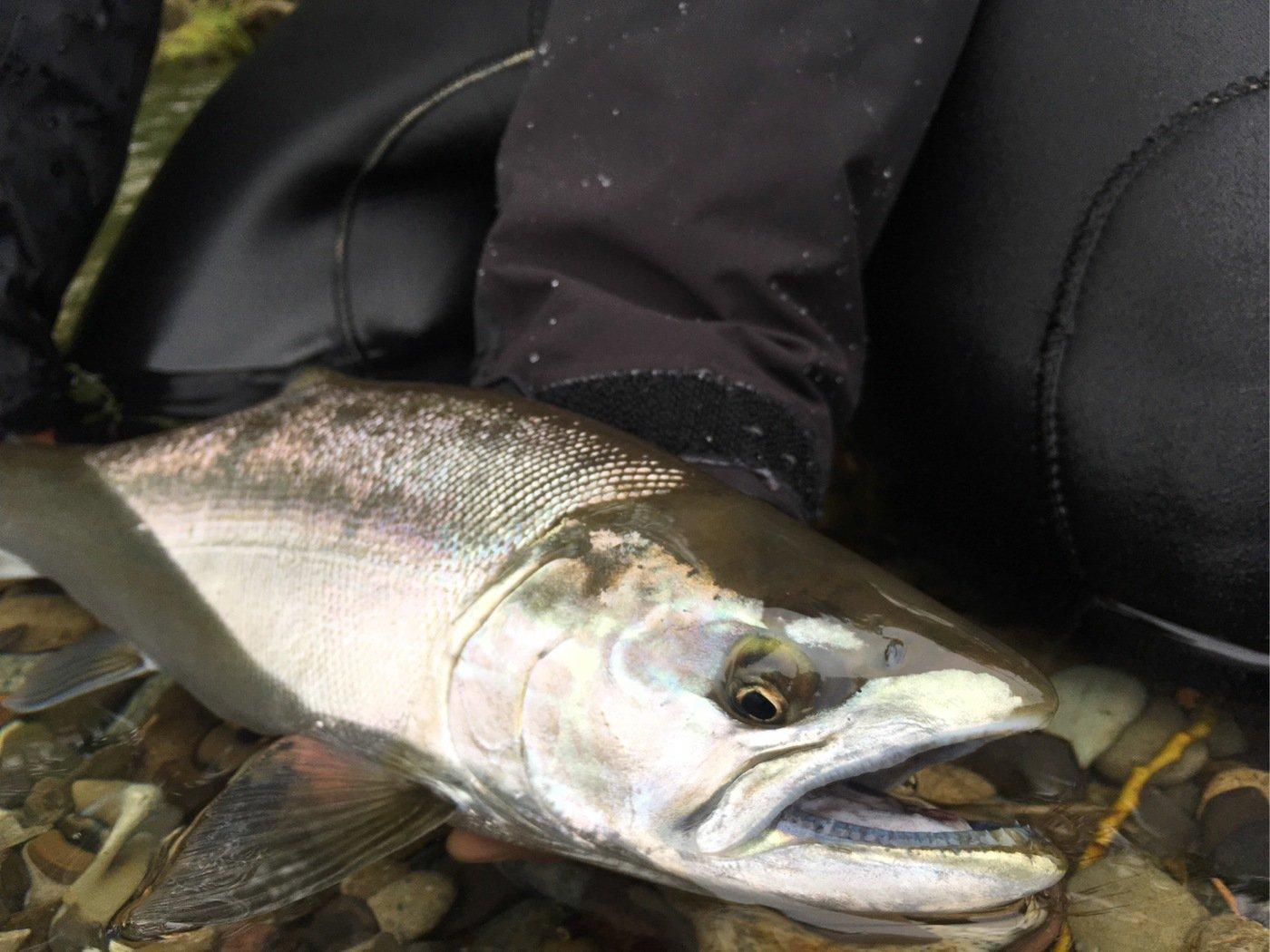 Kuniさんの投稿画像,写っている魚はサクラマス