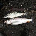 いさくぶのさんの北海道島牧郡での釣果写真