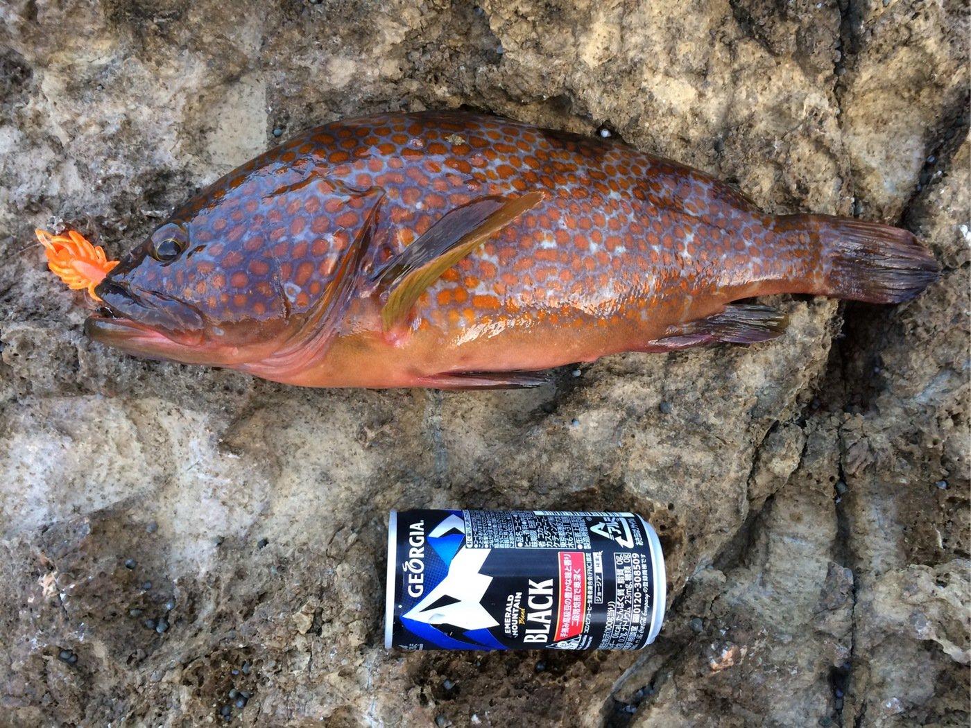 しんじさんの投稿画像,写っている魚はキジハタ