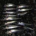 TETSUさんの静岡県沼津市でのアジの釣果写真