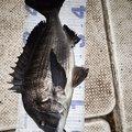 たらこさんの千葉県市原市でのクロダイの釣果写真