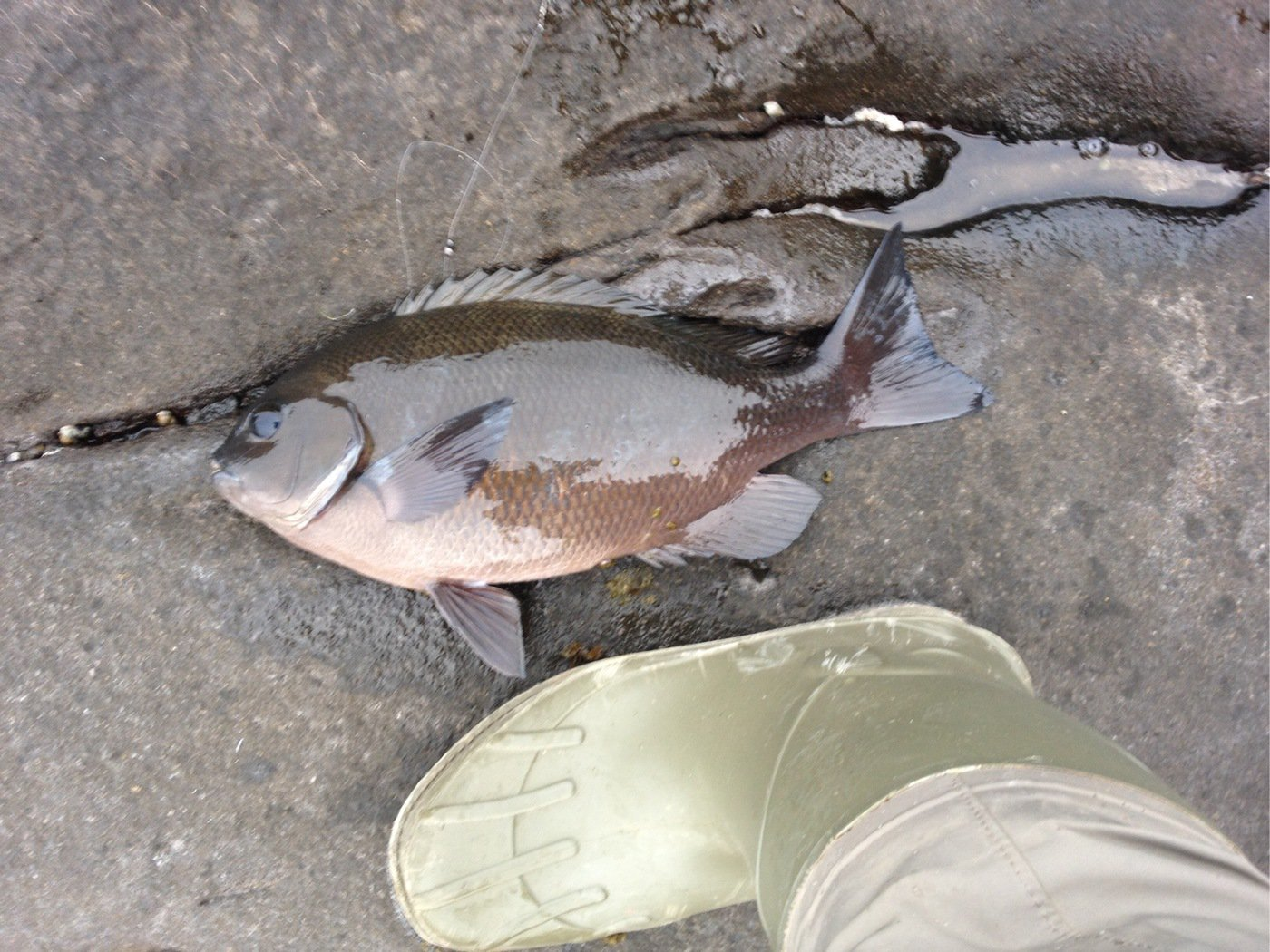 N' HAYATOさんの投稿画像,写っている魚はメジナ
