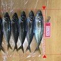 ビビさんの石川県鳳珠郡でのアジの釣果写真
