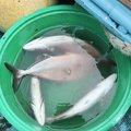 ヒラマ・サさんの茨城県下妻市での釣果写真