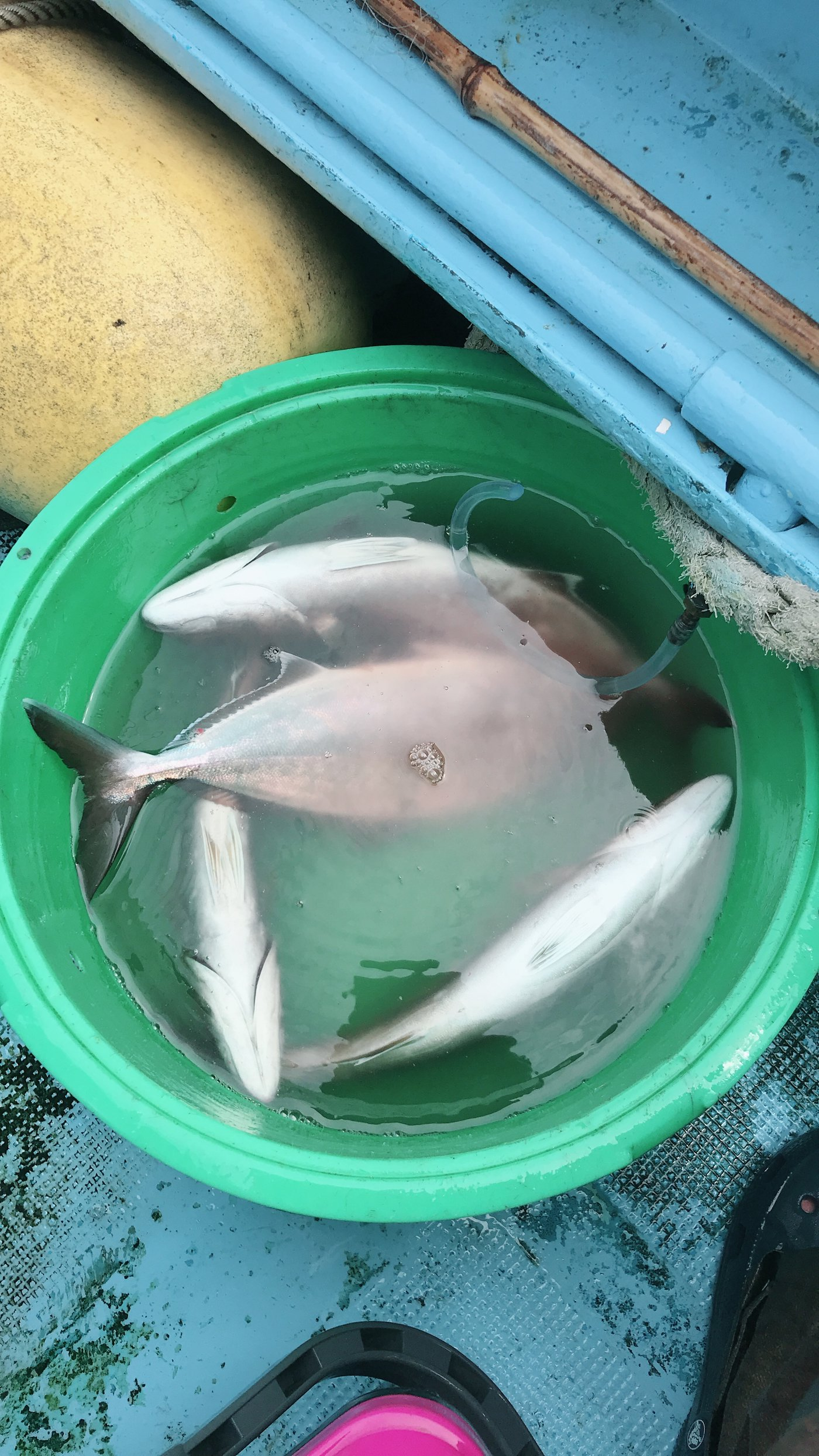 ヒラマ・サさんの投稿画像,写っている魚はカンパチ