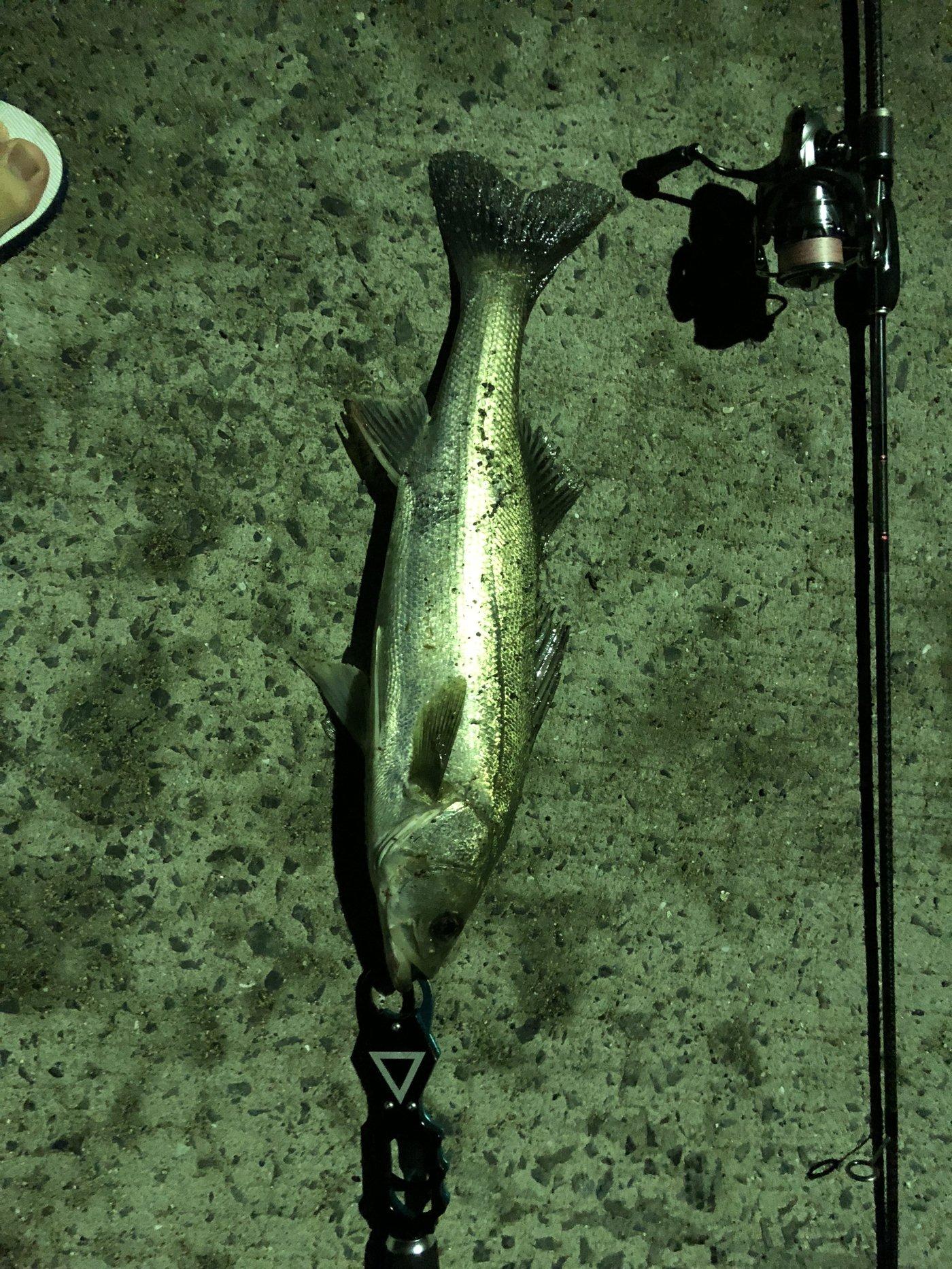 あそぼーぃさんの投稿画像,写っている魚はスズキ