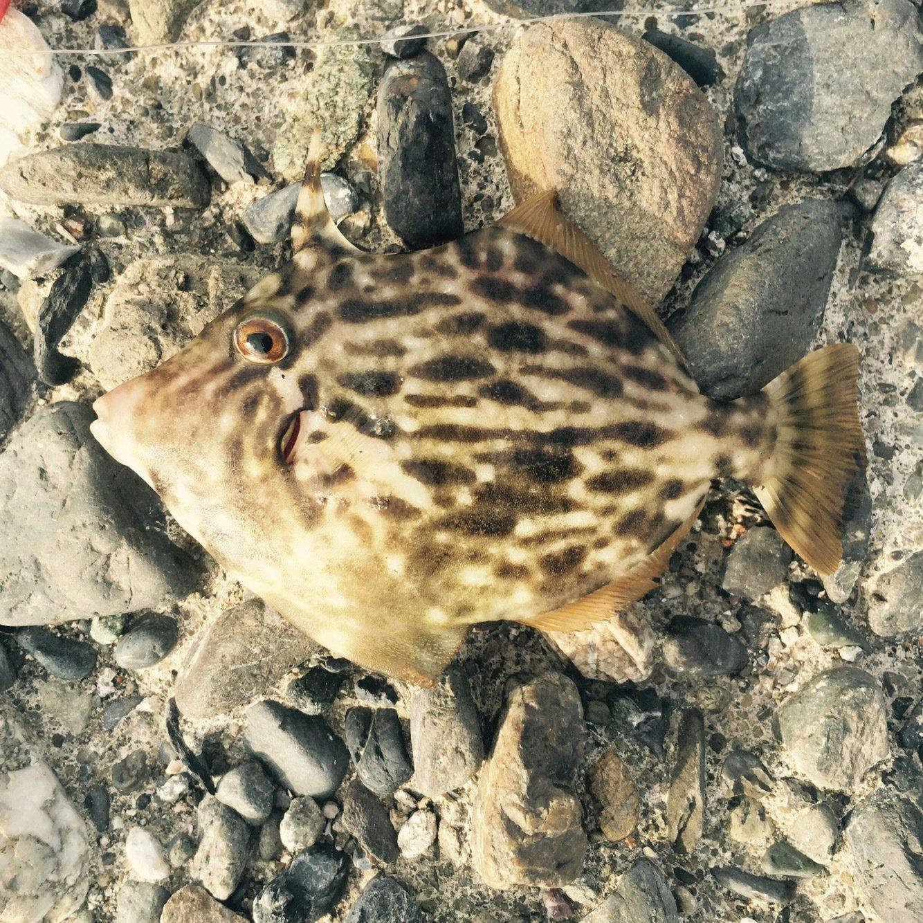 boboさんの投稿画像,写っている魚はカワハギ