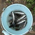 セイジさんの宮城県白石市でのヤマメの釣果写真