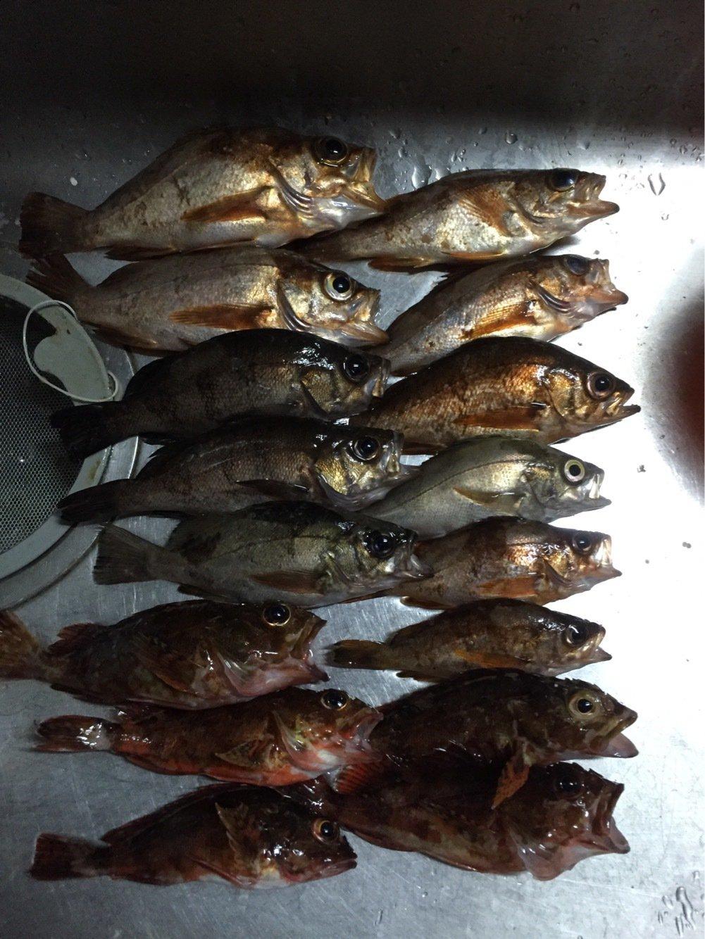 みなわさんの投稿画像,写っている魚はメバル