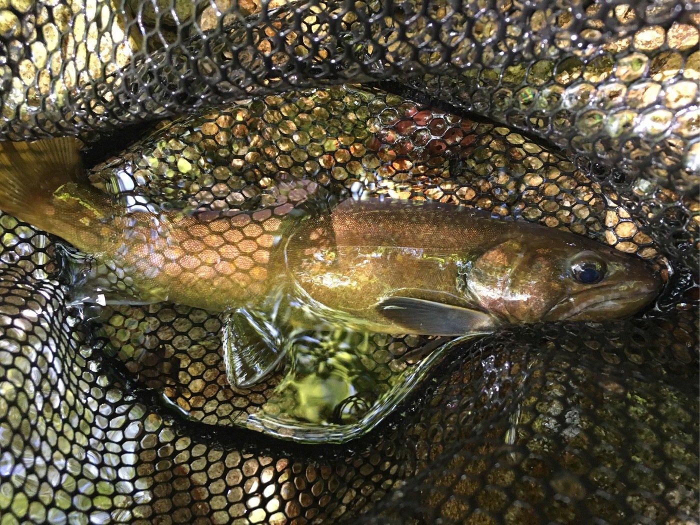 やまだんさんの投稿画像,写っている魚はイワナ