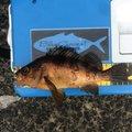 こいさんさんの青森県西津軽郡でのメバルの釣果写真