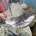 釣りキチみずき🐳🐠🐡🐙🐟🐬さんの福岡県糸島市でのクロダイの釣果写真