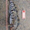 kathuさんの北海道檜山郡でのアイナメの釣果写真