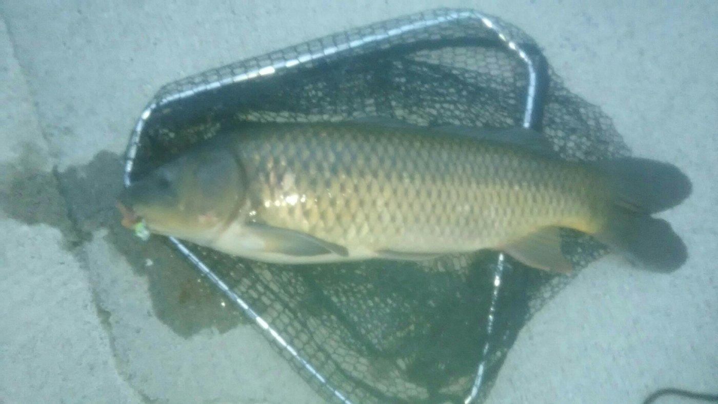 shi-basser-ki さんの投稿画像,写っている魚はコイ