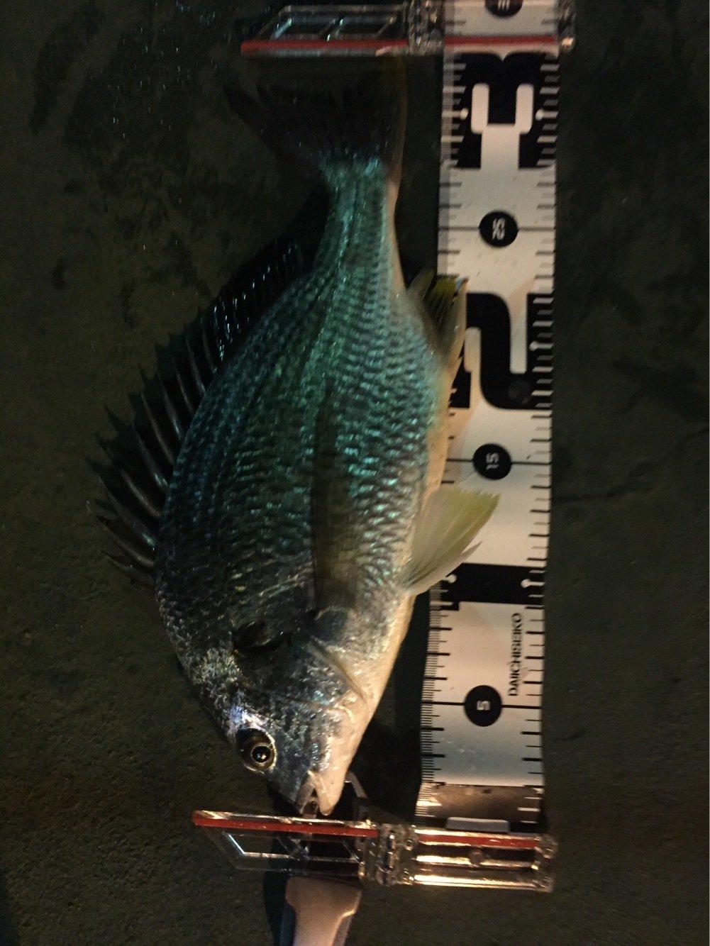 たくさんの投稿画像,写っている魚はキチヌ