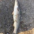 たかちゃんさんの福岡県福岡市でのコノシロの釣果写真