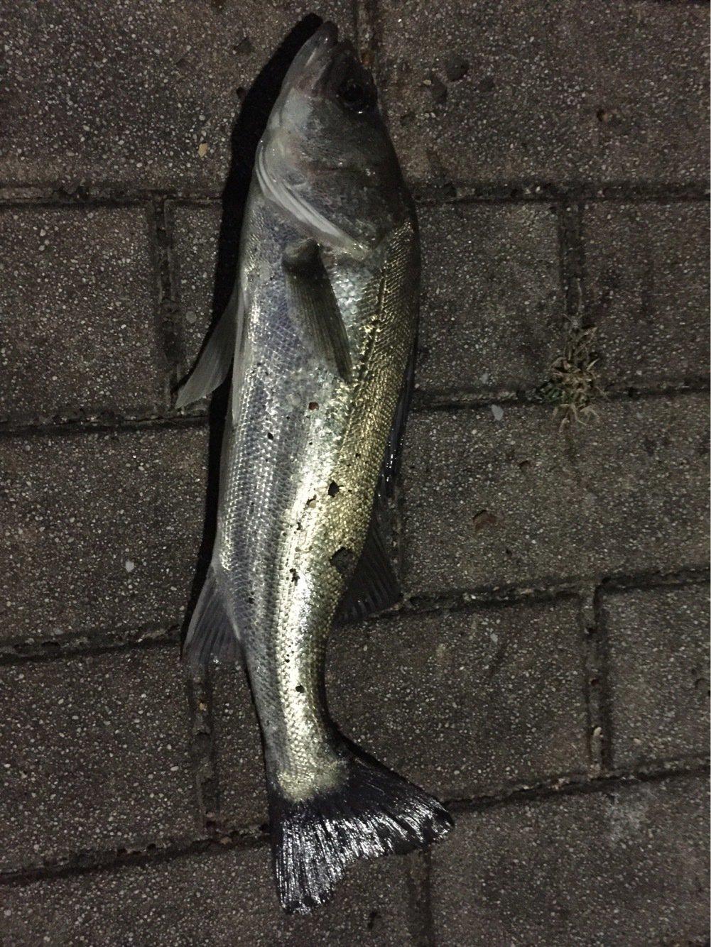 カズワタベさんの投稿画像,写っている魚はスズキ