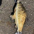 俺時々釣りさんのヘラブナの釣果写真