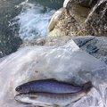釣りキチ3㎡さんの富山県中新川郡での釣果写真