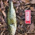 いづさんの長野県上田市での釣果写真