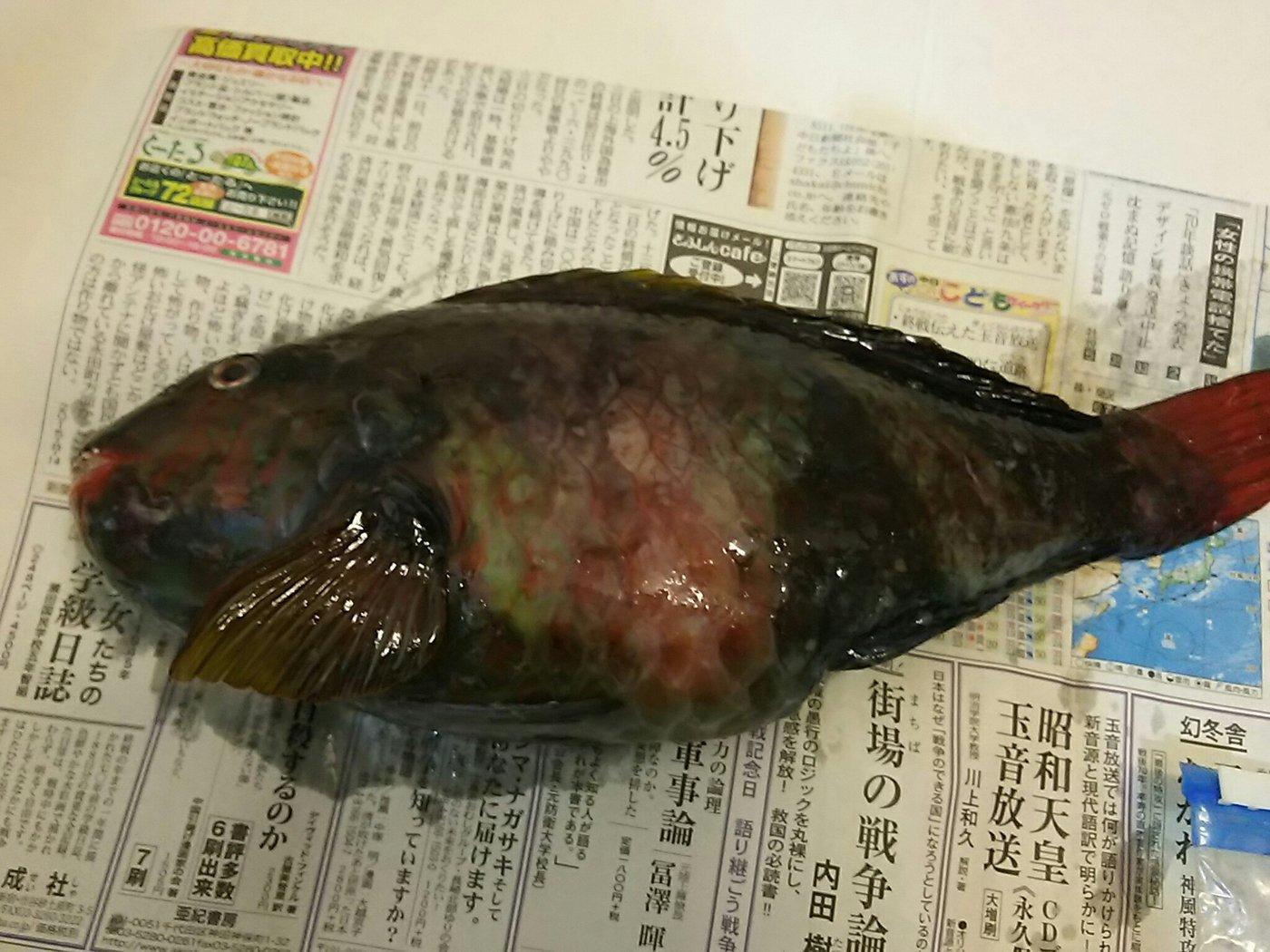山北さんの投稿画像,写っている魚はブダイ