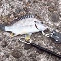 えびちゃん❗️さんの兵庫県明石市でのアイナメの釣果写真
