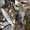 きーくんさんの新潟県五泉市での釣果写真